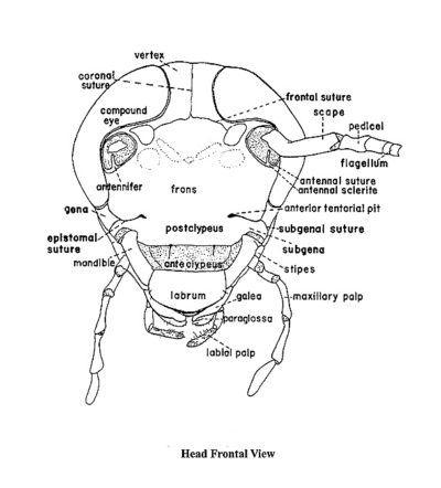 Oral apparatus of insects