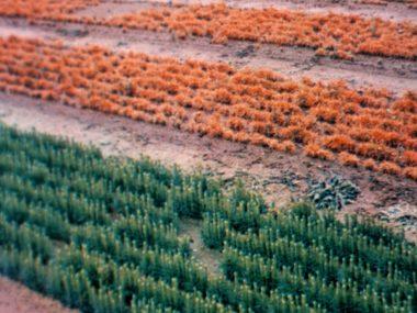 The diseases in nurseries coniferous tree species