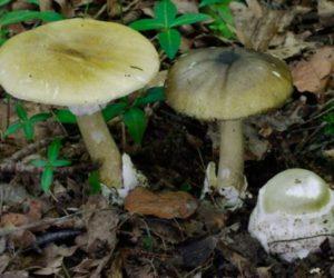 Amanita phalloides- death cap