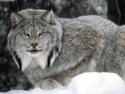 Lynx-animal-species