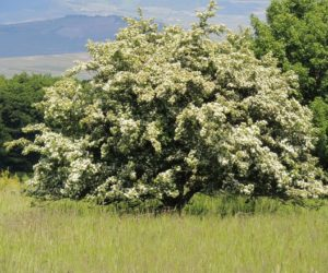 Intreeducing: Magical Hawthorn