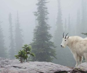 Feds to Remove Mountain Goats from Olympic Peninsula