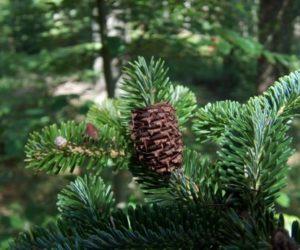 Abies alba-European silver fir