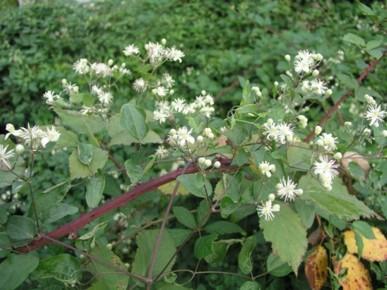 Clematis vitalba flowers