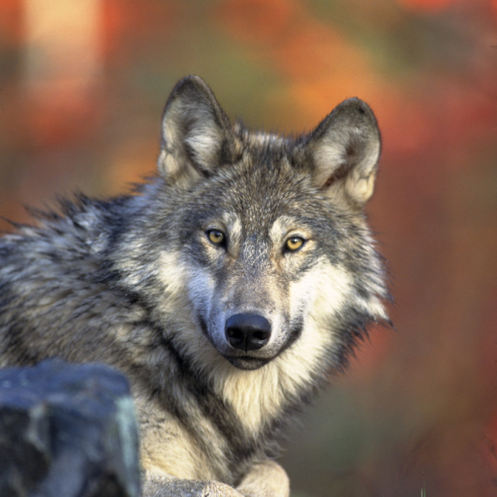 Bill Removing Protections for Wolves Passes House